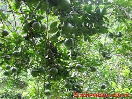 cây cam Sành