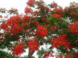 Cây Phượng vĩ- loại cây mà em thích
