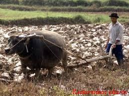 bác nông dân đang cày ruộng