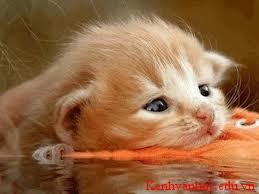 con mèo Hung