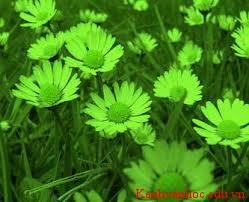 hoa cúc xanh
