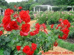 lợi ích của loài hoa hồng