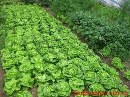 vườn rau nhà trồng