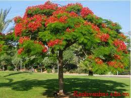 cây phượng vĩ cho bóng mát