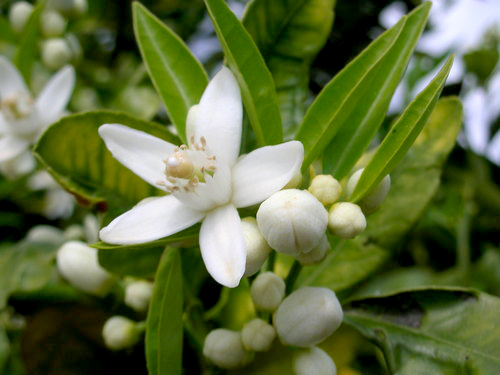 Bình giảng bài ca dao Trèo lên cây bưởi hái hoa