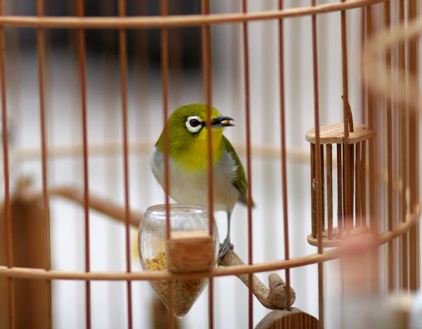 chim-vanh-khuyen-bi-nhot-trong-long